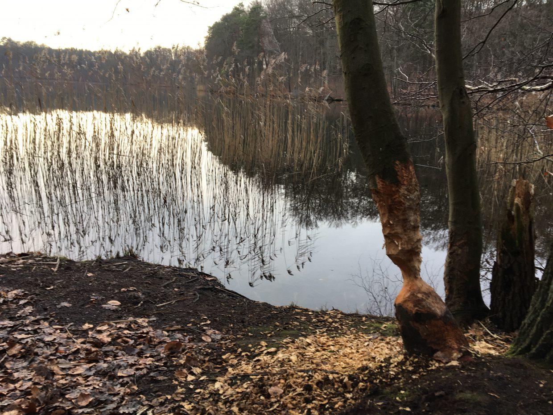 Wanderung Brandenburg Biesenthaler Becken. Deutliche Biberspuren am Baum.